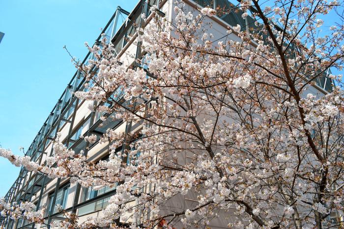品川女子学院の敷地内にある桜。